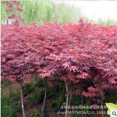 优质红枫树苗直销 美国红枫树苗 园林庭院彩叶观赏工程绿化苗