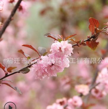 榆叶梅树苗绿化苗木庭院观赏行道点缀气味芳香量大从优榆叶梅直销