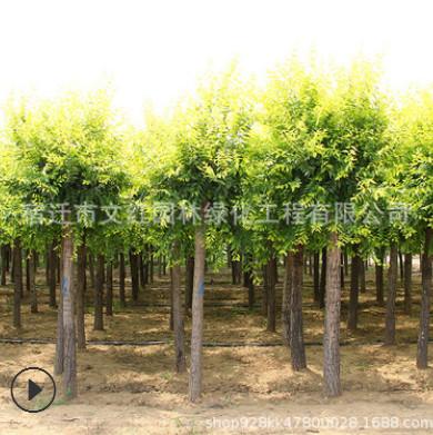 金叶榆树苗绿化苗木色块绿篱行道点缀庭院观赏量大从优金叶榆直销