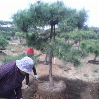长期供应优良黑松树 小区园林边道工程绿化苗黑松树苗
