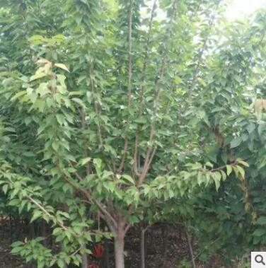 供应绿化苗木樱花树苗 易成活绿植规格全日本晚樱树苗