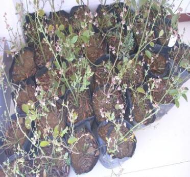 北方各市批发蓝丰蓝莓树苗,各种规格 各种品种