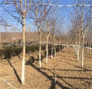 金叶复叶槭出售