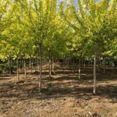 辽宁大量出售金叶复叶槭