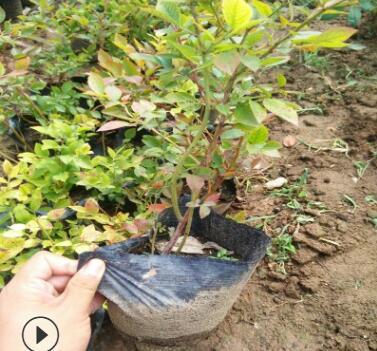 大量批发都克蓝莓苗提供栽培指导蓝莓苗送育苗手册都克蓝莓苗
