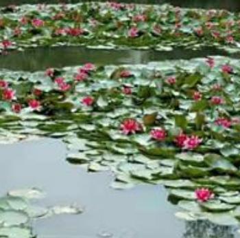 杭州萧山专业供应睡莲,荷花,和其它水生植物,基地直销。