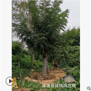 苗圃供应 黄花腊肠树 福建阿勃勒 阿勃勒批发 棵棵精挑细选