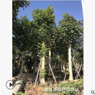 苗圃供应 5-30分火焰木 火焰木袋苗 澳洲火焰木 棵棵精挑细选