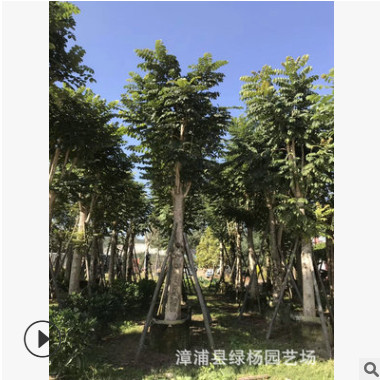 基地提供 5-30分火焰木 火焰木批发 火焰木袋苗 漳州火焰木