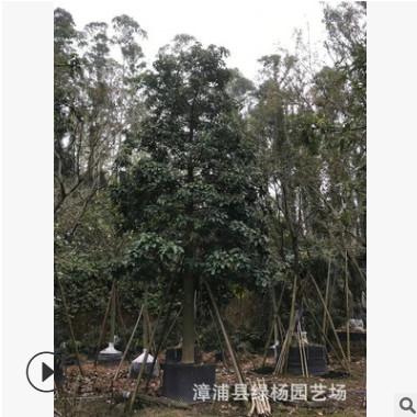 苗圃直销 5-30分火焰木 火焰木袋苗 火焰木基地 成活率高