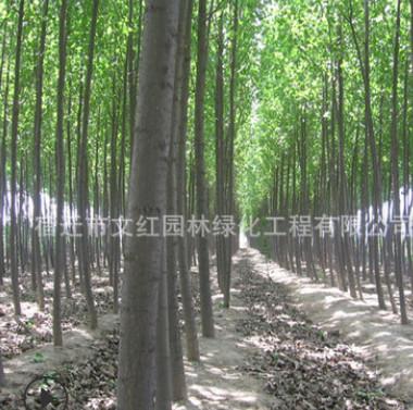 白杨树苗批发速生杨树苗 工程绿化苗木白毛杨庭院绿篱行道护坡