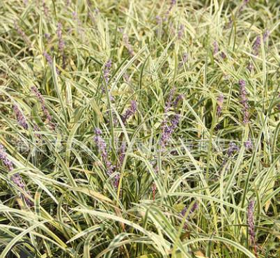 金边麦冬草苗批发地被花卉 阔叶矮麦冬 行道护坡草皮日本麦冬草