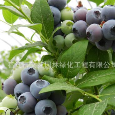 蓝莓苗批发兔眼蓝莓果树苗 酸甜可口送礼佳品行道点缀蓝莓苗
