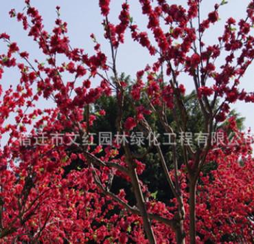 红梅树苗绿化花木庭院观赏行道点缀气味芳香量大从优红梅树苗直销