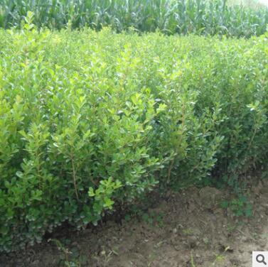 地批发大叶黄杨绿化 黄杨大法国冬青 绿篱植物瓜子黄杨球