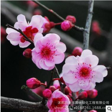 批发 园林绿化苗 美人梅 庭院花卉 当年开花 梅花树苗 规格全