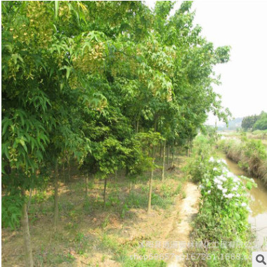 基地直销园林绿化工程苗 青枫 庭院植物鸡爪槭树 青枫树苗