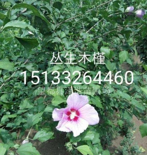 【丛生木槿】丛生木槿大墩木槿河北木槿报价木槿厂家