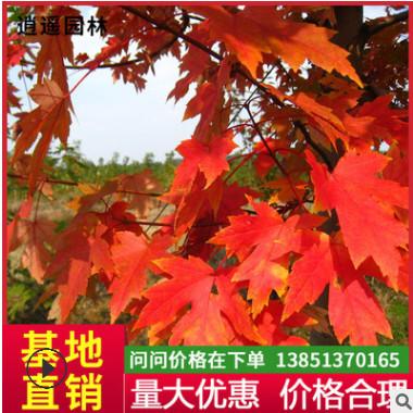 苗圃直销美国红枫树苗批发红枫小苗批发秋火焰成活高易栽培价格优