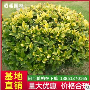 四季常青树苗 绿化专用女贞 黄叶树苗 规格全 金叶女贞小苗