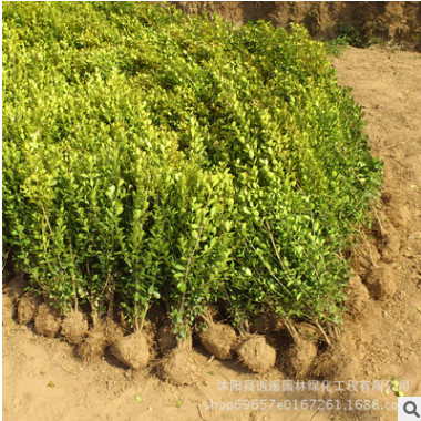 基地批发黄杨苗花卉 绿化园林黄杨小苗 小叶瓜子黄杨苗 绿篱灌木
