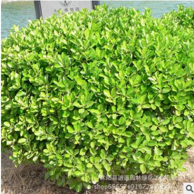 小叶黄杨苗 基地直供优质黄杨树苗 园林绿化工程小叶黄杨小苗