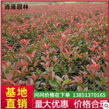 基地供应工程红叶石楠球苗 四季常青行道园林红叶石楠苗花卉绿植