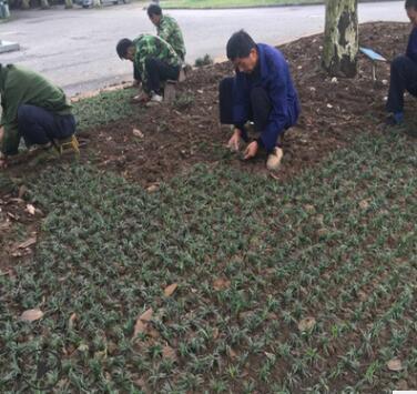 矮玉龙苗沿阶草裸根不带土10cm以下日本庭院金边推荐绿化麦冬草