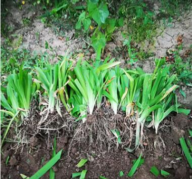 扁竹根蝴蝶兰苗鸢尾紫色兰花又名鸢尾当年开花苗繁殖快成活率高