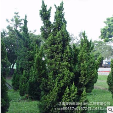 供应绿化工程苗木龙柏 龙柏树苗家姐龙柏苗庭院绿植规格全