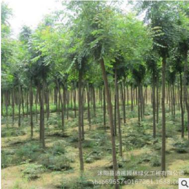 园林工程绿化苗木 优质合欢树苗 规格全 庭院观赏植物合欢绒绒