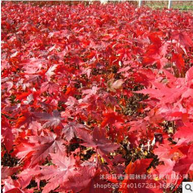 直销美国红枫 嫁接美国红枫苗庭院阳台种植物行道工程绿化苗规格