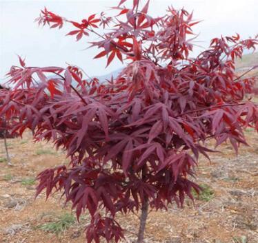庭院嫁接红枫树苗中国日本红枫红舞姬耐寒地栽风景树园林绿化工程