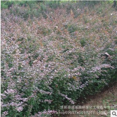 园林工程色块绿化苗木红叶小檗苗批发行道树苗庭院彩色树红叶小檗