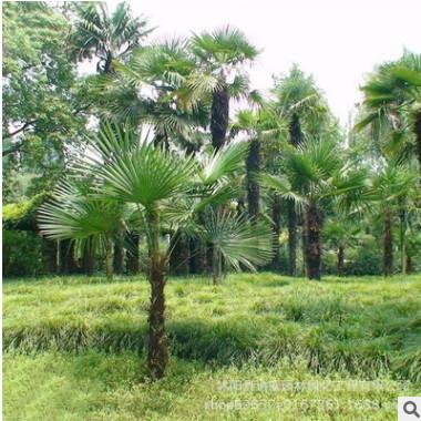 批发供应绿化苗木棕榈树苗园林工程棕榈树苗 行道绿化规格全