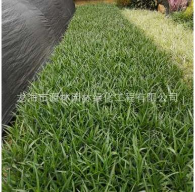 紫花芦莉价格 福建种植基地种植 低价大量批发 园林 庭院 别墅