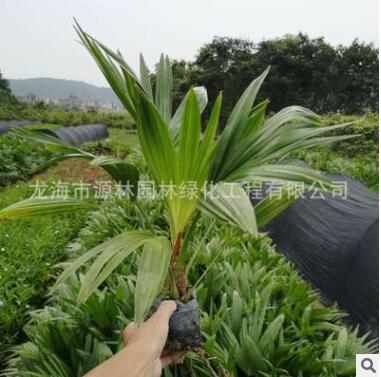 矮蒲葵价格 福建种植基地种植 低价大量批发 园林 庭院 别墅