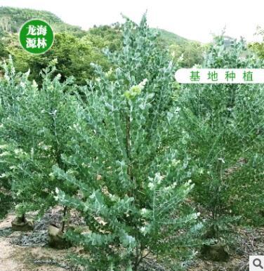 基地直销银叶金合欢 规格齐全风景树种类绿化树木园林绿化
