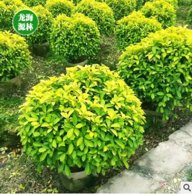 黄金榕球 绿化美化环境精品球 盆栽 基地直销 各种规格 量大优惠