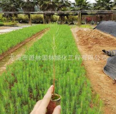 湿地松价格 福建种植基地种植 低价大量批发 造林用苗