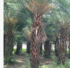 基地供应 1-6米中东海枣 银海枣小苗 中东海枣基地 成活率高