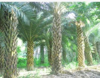 供应园林绿化苗木福建中东海枣银海枣 4米高中东海枣 价格实惠