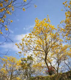 苗圃直销 黄花风铃木树 风铃木基地 黄金风铃木 风铃木批发