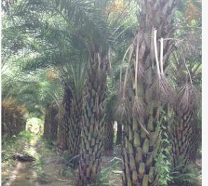 苗圃供应 银海枣小苗 杆高5米中东海枣 中东海枣基地 成活率高