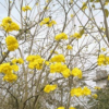供应黄花风铃木 福建漳州漳浦4公分黄花黄金风铃木批发园林植物
