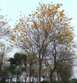 苗圃供应 风铃木 黄花 风铃木袋苗 8-35分风铃木 漳州风铃木