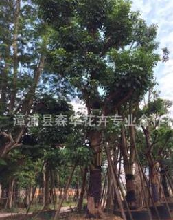 漳州精品全冠秋枫胸径15-30公分冠4米物美价廉杆直房重阳木
