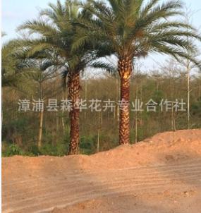 优质中东海枣(银海枣)批发,自产自销,漳浦中东海枣价格低