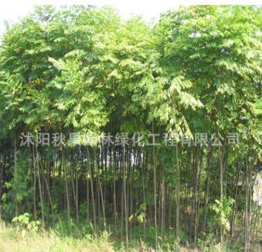 栾树树苗 行道庭荫造型栾树苗工程绿化苗木北京栾树量大从优