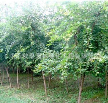 基地批发五角枫大树五角枫树苗园林工程苗规格全量大从优